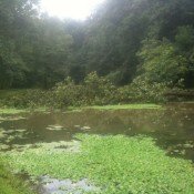 "Glen Providence park's ""frog pond"" with a downed tree"